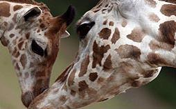 Giraffen - die Riesen mit den sanften Augen
