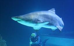 Riesenhaie - Sanfte Giganten