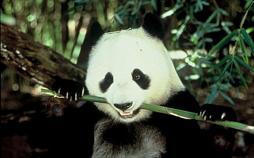 Das Panda - Projekt