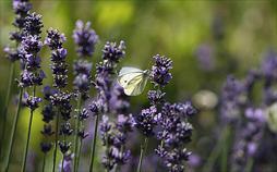 Birnenkuchen mit Lavendel