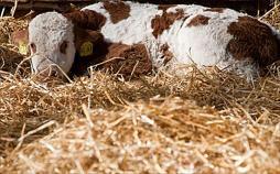 Durstige Kälber - Der Kampf gegen Tiertransporte