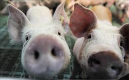 Garnelen statt Schweinezucht