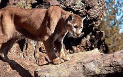 Der unsichtbare Puma
