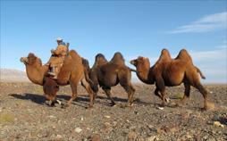 Wüstenschiffe: Von Kamelen und Menschen